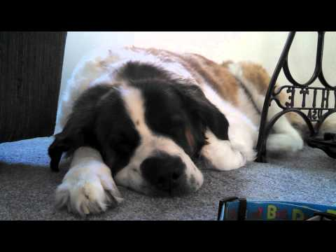 Saint Bernard Snores herself awake