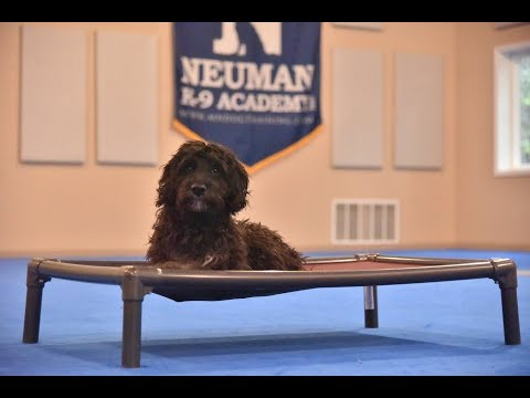 Charlie (Goldendoodle) Puppy Camp Dog Training Video Demonstration