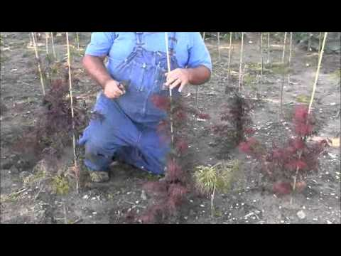 Training Japanese Maples To Grow Properly Youtube