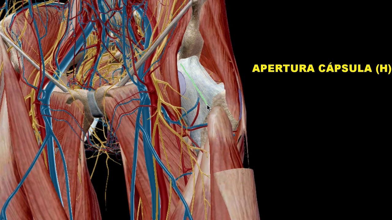Anatomía Quirúrgica AAD Cadera - YouTube