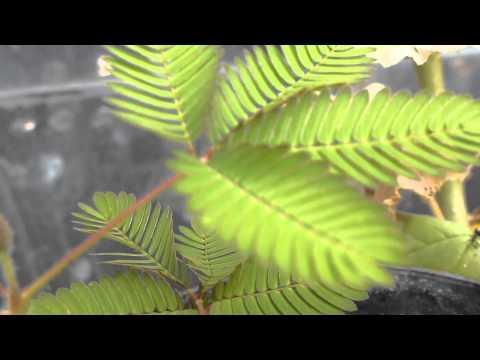 Sensitive plant - Mimosa pudica 1 - Mímósa  - Pottaplanta - Garðskálaplanta