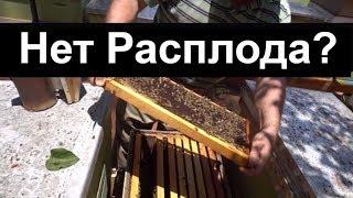 пчеловодство для начинающих - Нет матки, нет Раcплода - Что делать?