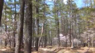 富士山の裾野に広がる樹林帯にある富士桜の群生地.