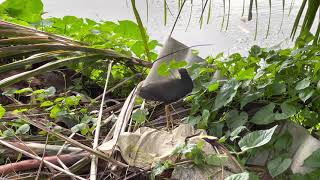 Water Hen in distress