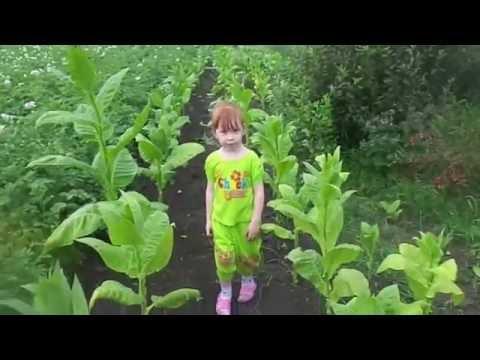 Выращивание и уход за курительным табаком. Первый сбор урожая.