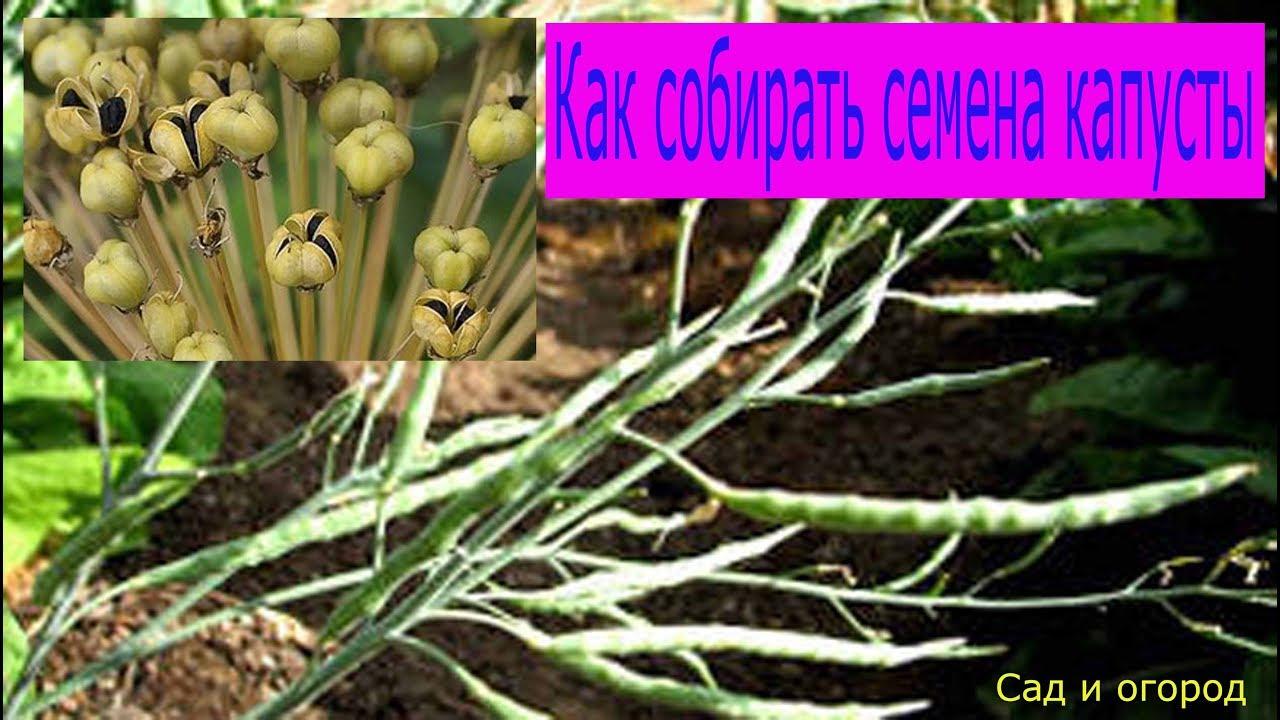 Не знаете, где продаются самые качественные семена кормового или пищевого амаранта?. Обращайтесь в интернет-магазин сеньор-помидор и ваш урожай будет рекордным. Страница 1.