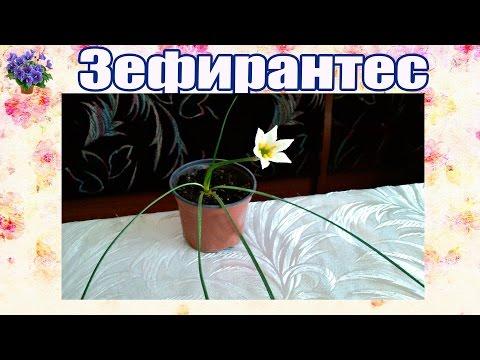 Зефирантес немного о растении и его семенах