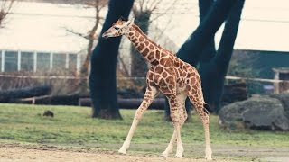 Adorable 3-Week-Old Endangered Giraffe Takes Walk Around New Home In U.K. Zoo