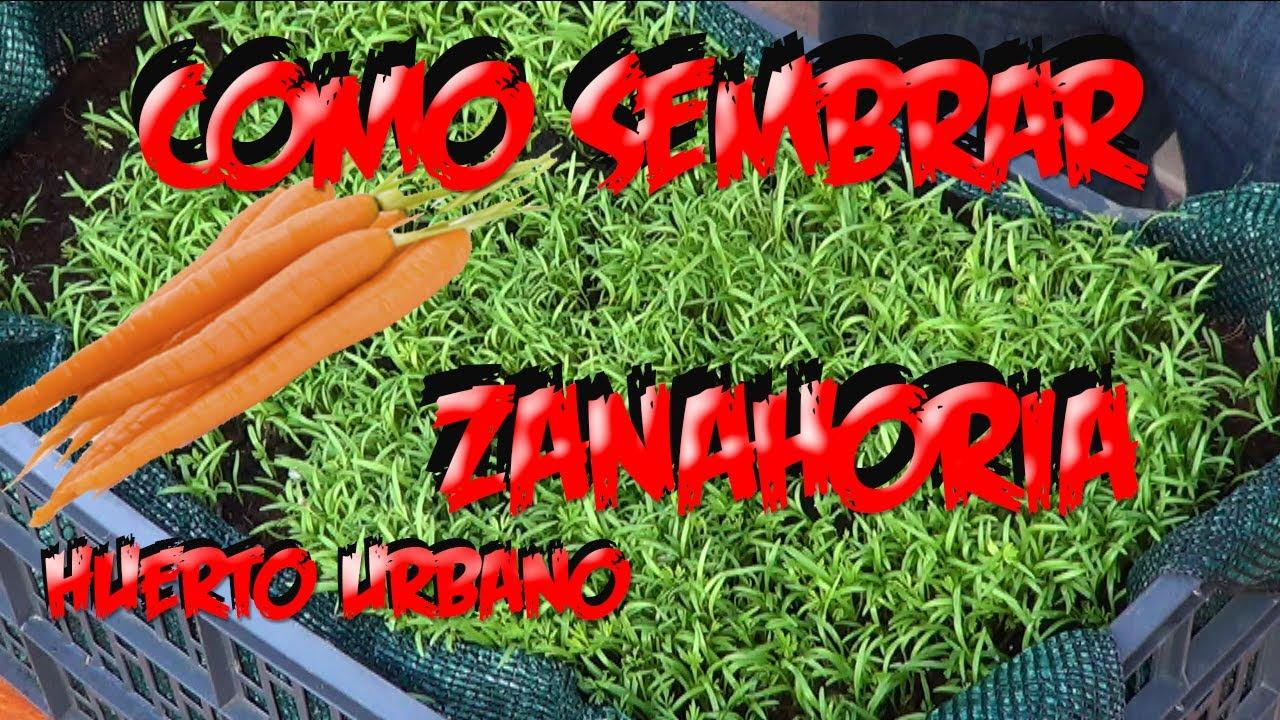 Como sembrar zanahorias en el huerto urbano la huertina - Que plantar en el huerto ...