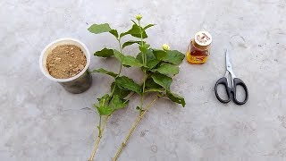 How to Grow Mogra Jasmine From Cuttings | Care and Propagation of Jasmine Plant (Urdu/hindi) thumbnail