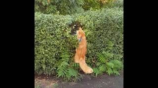 When Maine Coon try to hunt