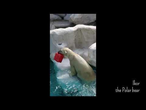 ホッキョクグマのイコロ「赤いポリタンめがけて」@上野動物園 / Ikor the Polar bear dives into the pool to get treats at Ueno zoo