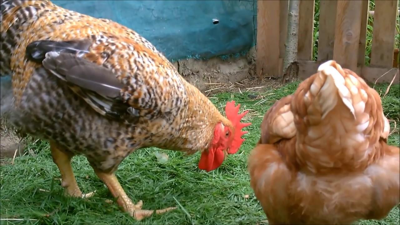 pollaio con gallo e galline il verde mondo youtube