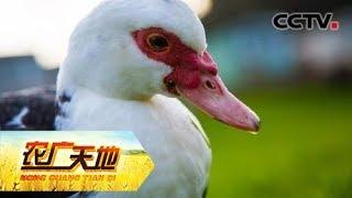 《农广天地》 20190710 放弃百万生意养番鸭| CCTV农业