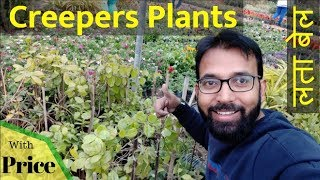 Fastest Growing Creeper Plant in India | Type of Creepers Plants | Curtain Creeper