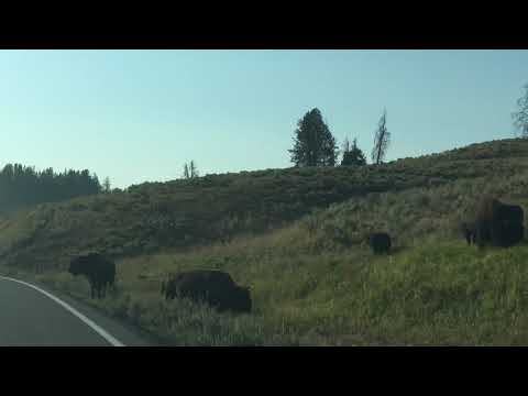 Yellowstone Bison Road Crossing