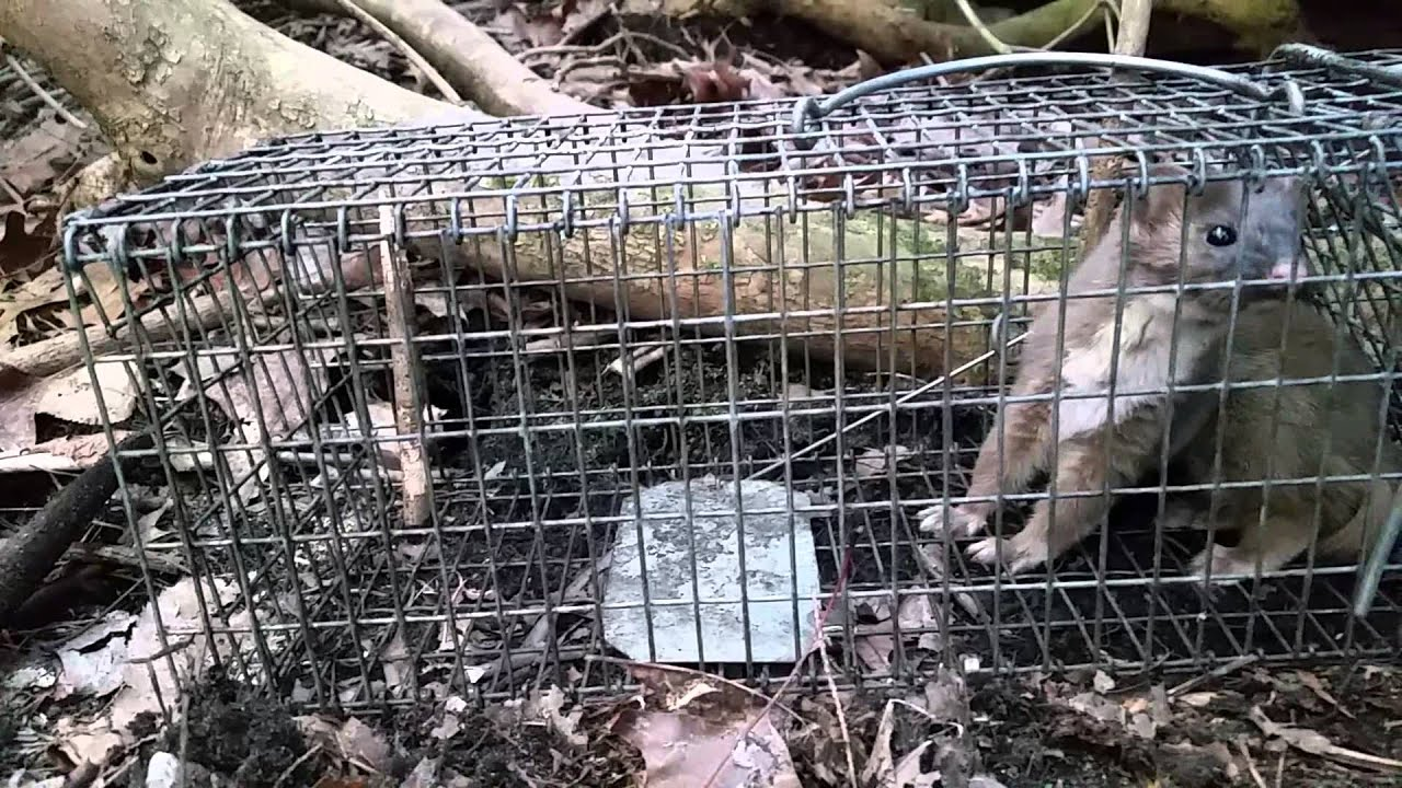 how to trap a mink in a live trap