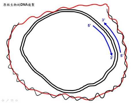10502選修生物ch11 2 14同學提問原核生物複製後的DNA長度一樣嗎二樂