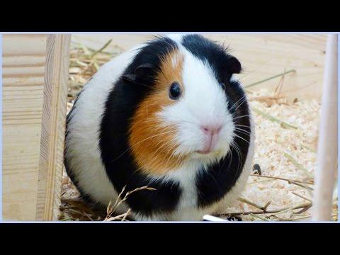 Life Hacks For Guinea Pigs