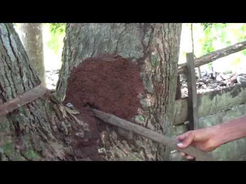 A termite nest in Baracoa Cuba