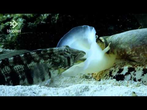 Geographus cone shell net feeding on sleeping fish