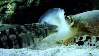 Geographus cone shell net feeding on sleeping fish