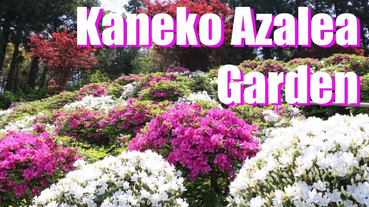 gekkasan kaneko azalea garden 2017 月華山かねこつつじ園2017年