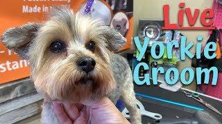 Live Yorkie Pet Grooming in Texas with My Favorite Groomer