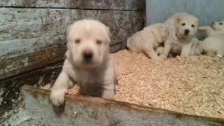 Щенки среднеазиатской овчарки (Алабай) 1 месяц. ПРОДАЖА