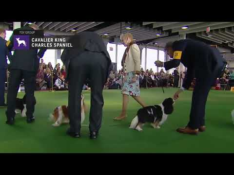Cavalier King Charles Spaniels part 2 | Breed Judging 2019
