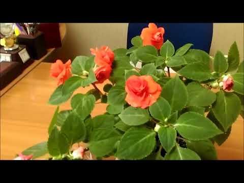 Бальзамин цветение