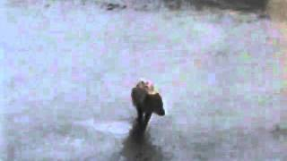 Arctic Blue Fox - Shemya AK - 6-22-1995