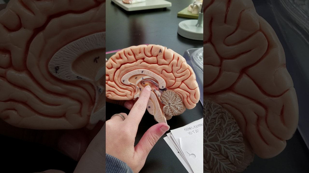 Brain Labeling, Diencephalon//Thalamus - YouTube