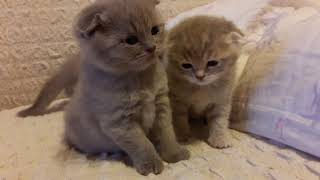 Шотландские котята 1 месяц