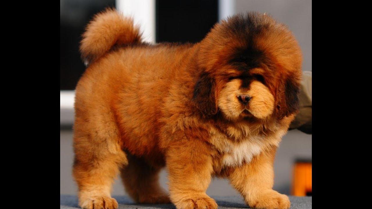 Chó Ngao Tây Tạng Thuần Chủng Giá $5