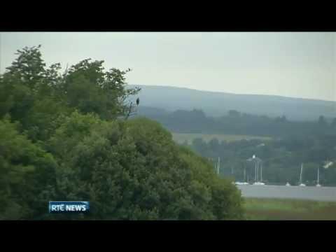 White-tailed eagles take flight in Ireland
