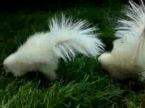 baby apricot albino skunks playing in the garden - YouTube