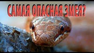 """""""Самая опасная змея""""? Медянка. Smooth snake. Coronella austriaca."""