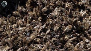 Почему миллионы пчёл погибли на юге Новосибирской области?
