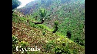 """2015.04.06 """"Cycad Trees and Aqueducts"""" - Western Uganda"""