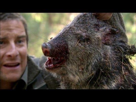 Bear Eats Wild Pig  Born Survivor 6
