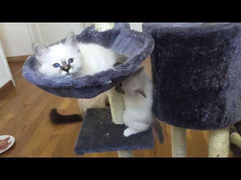 Cute 2 months Birman cat playing