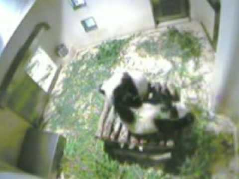 Pandas Ying Ying And Le Le Make Themselves At Home