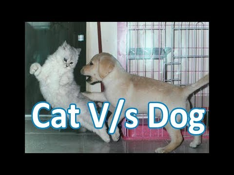 Brave cat playing bravely with the dog-Funny clip-Dog seems to be innocent in front of this cat