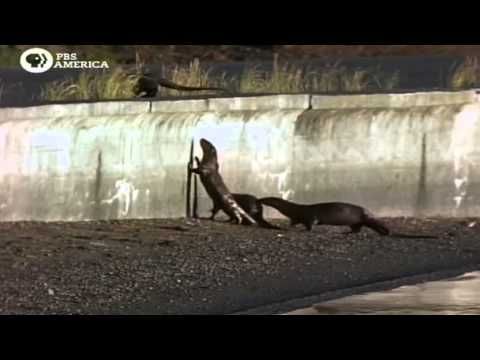PBS Otters Of Yellowstone PDTV x264 AAC MVGroup org