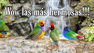 Las Aves más Hermosas y su Canto! 😍💕 Aves Exóticas woww