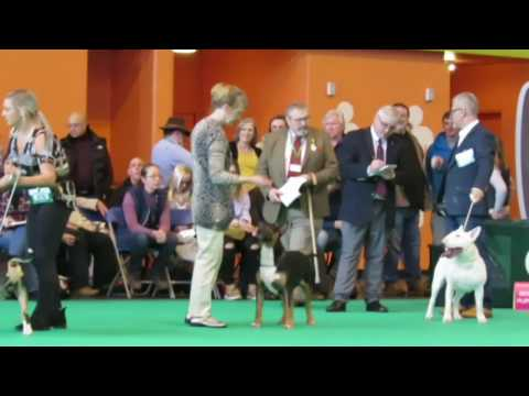 Crufts 2017 Bull Terrier Classes Standard Male Dogs