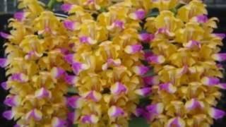 Vẻ đẹp của phong lan rừng giáng hương (Lan giáng hương - Aerides falcata)