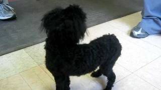 Peyton - Toy Poodle In Aug 3 2009