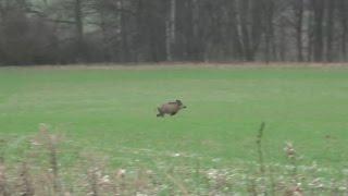 Polowanie zbiorowe  - strzał do dzika - drückjagd - drivenhunt - jakte på vilt - chasse